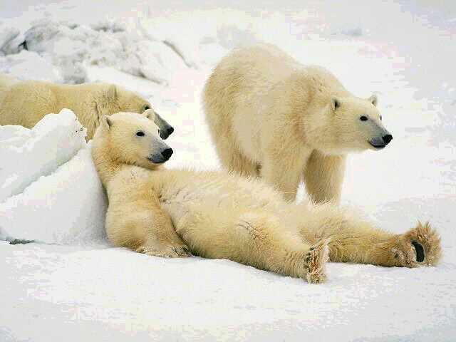 polar-bears1