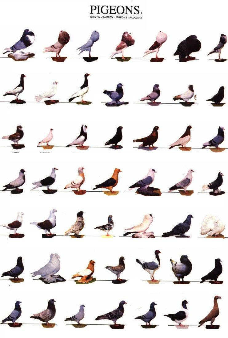 Pigeons-pigeons-27537154-741-1095